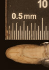 http://mczbase.mcz.harvard.edu/specimen_images/herpetology/large/R56017_A_nigrilatus_P_hv.jpg