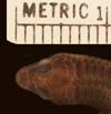 http://mczbase.mcz.harvard.edu/specimen_images/herpetology/large/R5788_G_speciosus_S_hd.jpg