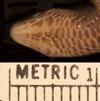 http://mczbase.mcz.harvard.edu/specimen_images/herpetology/large/R5788_G_speciosus_S_hv.jpg