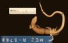 http://mczbase.mcz.harvard.edu/specimen_images/herpetology/large/R5788_G_speciosus_S_v.jpg