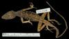 Media of type image, MCZ:Herp:R-60245 Identified as Anolis oculatus cabritensis type status Holotype of Anolis oculatus cabritensis. . Aspect: dorsal