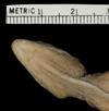 Media of type image, MCZ:Herp:R-60245 Identified as Anolis oculatus cabritensis type status Holotype of Anolis oculatus cabritensis. . Aspect: head ventral