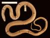 http://mczbase.mcz.harvard.edu/specimen_images/herpetology/large/R6139_A_rijersmai_S_d.jpg