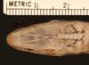 http://mczbase.mcz.harvard.edu/specimen_images/herpetology/large/R6139_A_rijersmai_S_hd.jpg