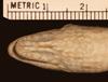 http://mczbase.mcz.harvard.edu/specimen_images/herpetology/large/R6139_A_rijersmai_S_hv.jpg