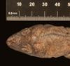 http://mczbase.mcz.harvard.edu/specimen_images/herpetology/large/R6164_A_griseus_S_hd.jpg