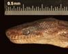 http://mczbase.mcz.harvard.edu/specimen_images/herpetology/large/R62656_E_fordii_agametus_H_hl.jpg