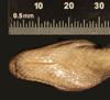http://mczbase.mcz.harvard.edu/specimen_images/herpetology/large/R62656_E_fordii_agametus_H_hv.jpg