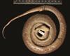 http://mczbase.mcz.harvard.edu/specimen_images/herpetology/large/R62656_E_fordii_agametus_H_v.jpg