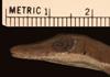 http://mczbase.mcz.harvard.edu/specimen_images/herpetology/large/R62994_A_dolichocephalus_sarmenticola_P_hl.jpg