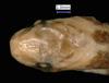 http://mczbase.mcz.harvard.edu/specimen_images/herpetology/large/R65384_A_major_hd.jpg
