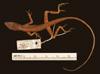 http://mczbase.mcz.harvard.edu/specimen_images/herpetology/large/R6562_A_gaigei_P_d.jpg