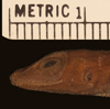 http://mczbase.mcz.harvard.edu/specimen_images/herpetology/large/R6562_A_gaigei_P_hl.jpg