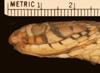 http://mczbase.mcz.harvard.edu/specimen_images/herpetology/large/R6704_T_marcianus_marcianus_hl.jpg