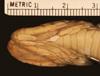 http://mczbase.mcz.harvard.edu/specimen_images/herpetology/large/R6704_T_marcianus_marcianus_hv.jpg