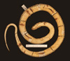 http://mczbase.mcz.harvard.edu/specimen_images/herpetology/large/R6704_T_marcianus_marcianus_v.jpg