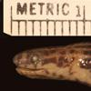 http://mczbase.mcz.harvard.edu/specimen_images/herpetology/large/R7102_C_linnaei_H_hl.jpg