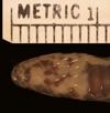 http://mczbase.mcz.harvard.edu/specimen_images/herpetology/large/R7102_C_linnaei_H_hv.jpg