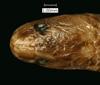 http://mczbase.mcz.harvard.edu/specimen_images/herpetology/large/R7106_C_virgulata_H_hd.jpg