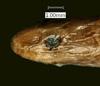 http://mczbase.mcz.harvard.edu/specimen_images/herpetology/large/R7106_C_virgulata_H_hl.jpg