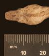 http://mczbase.mcz.harvard.edu/specimen_images/herpetology/large/R72155_C_carinata_tepedeleni_H_hd.jpg