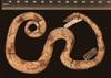 http://mczbase.mcz.harvard.edu/specimen_images/herpetology/large/R72155_C_carinata_tepedeleni_H_rl.jpg