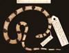 http://mczbase.mcz.harvard.edu/specimen_images/herpetology/large/R77039_C_occipitalis_H_d.jpg