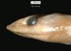 http://mczbase.mcz.harvard.edu/specimen_images/herpetology/large/R77039_C_occipitalis_H_hl.jpg