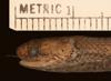 http://mczbase.mcz.harvard.edu/specimen_images/herpetology/large/R77217_D_haetiana_perfector_H_hl.jpg