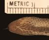 http://mczbase.mcz.harvard.edu/specimen_images/herpetology/large/R77217_D_haetiana_perfector_H_hv.jpg