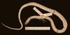 http://mczbase.mcz.harvard.edu/specimen_images/herpetology/large/R81121_A_exiguus_subspadix_H_v.jpg
