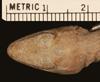 http://mczbase.mcz.harvard.edu/specimen_images/herpetology/large/R8306_A_cristatellus_cristatellus_H_hd.jpg