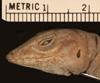 http://mczbase.mcz.harvard.edu/specimen_images/herpetology/large/R8306_A_cristatellus_cristatellus_H_hl.jpg