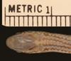 http://mczbase.mcz.harvard.edu/specimen_images/herpetology/large/R870_P_agassizii_S_hd.jpg