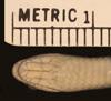 http://mczbase.mcz.harvard.edu/specimen_images/herpetology/large/R870_P_agassizii_S_hv.jpg