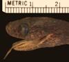 http://mczbase.mcz.harvard.edu/specimen_images/herpetology/large/R9260_D_elongata_H_hl.jpg