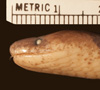 http://mczbase.mcz.harvard.edu/specimen_images/herpetology/large/R96674_A_major_hl.jpg