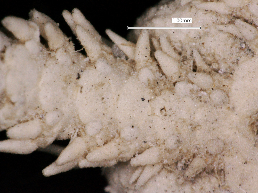 Media of type image, MCZ:IZ:OPH-1159 Identified as Ophiactis canotia type status Syntype of Ophiactis canotia.