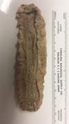 http://mczbase.mcz.harvard.edu/specimen_images/invertebrates/large/1182_Stichopus_badionuts_var._phoenius_2.jpg
