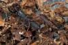 http://mczbase.mcz.harvard.edu/specimen_images/invertebrates/large/129084_Thelyphonellus_amazonicus_10.jpg