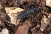http://mczbase.mcz.harvard.edu/specimen_images/invertebrates/large/129084_Thelyphonellus_amazonicus_4.jpg
