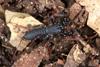 http://mczbase.mcz.harvard.edu/specimen_images/invertebrates/large/129084_Thelyphonellus_amazonicus_6.jpg