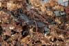 http://mczbase.mcz.harvard.edu/specimen_images/invertebrates/large/129084_Thelyphonellus_amazonicus_9.jpg