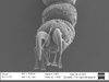 http://mczbase.mcz.harvard.edu/specimen_images/invertebrates/large/131275_Metibalonius_21.jpg