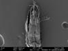 http://mczbase.mcz.harvard.edu/specimen_images/invertebrates/large/131275_Metibalonius_4.jpg