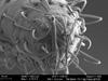 http://mczbase.mcz.harvard.edu/specimen_images/invertebrates/large/131275_Metibalonius_8.jpg