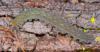 http://mczbase.mcz.harvard.edu/specimen_images/invertebrates/large/131432_Kumbadjena_1.jpg