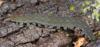 http://mczbase.mcz.harvard.edu/specimen_images/invertebrates/large/131432_Kumbadjena_5.jpg