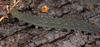 http://mczbase.mcz.harvard.edu/specimen_images/invertebrates/large/131432_Kumbadjena_6.jpg