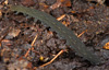 http://mczbase.mcz.harvard.edu/specimen_images/invertebrates/large/131432_Kumbadjena_8.jpg